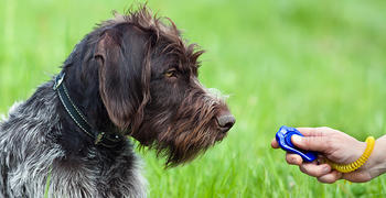 Excited dog responds to dog training clicker and treat