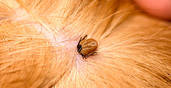 Tick found embedded on a dog after owner looks through fur