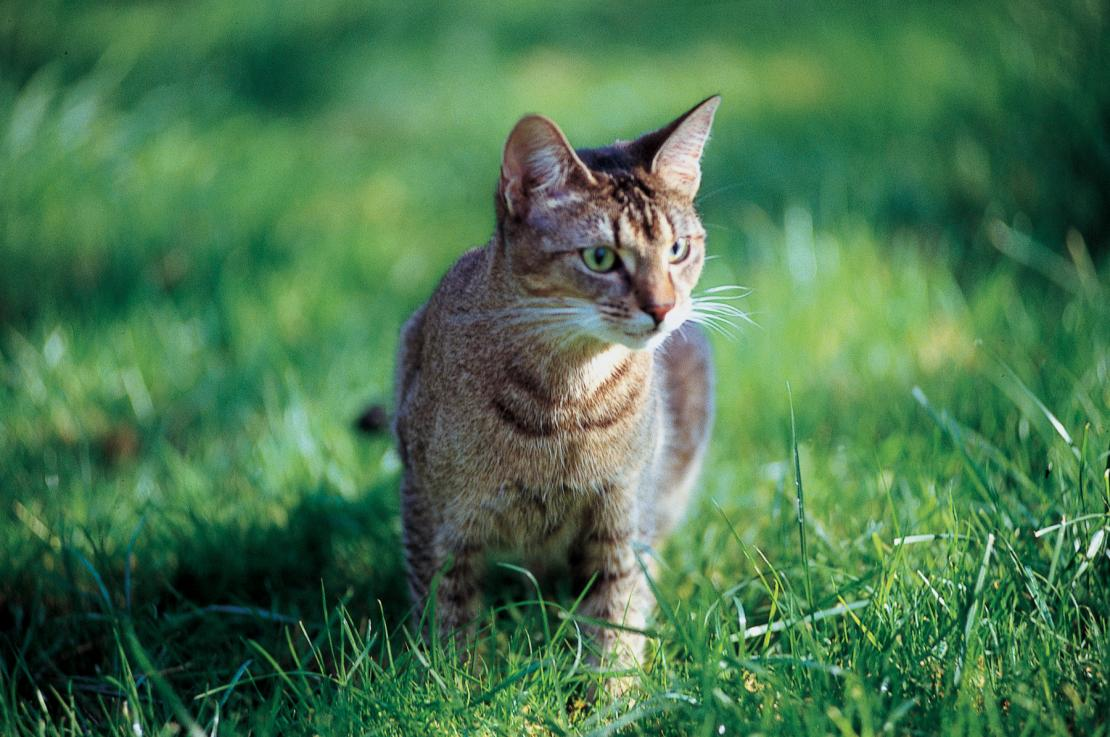 Cat walking in grass – worming cats is essential to keep your pet happy and healthy