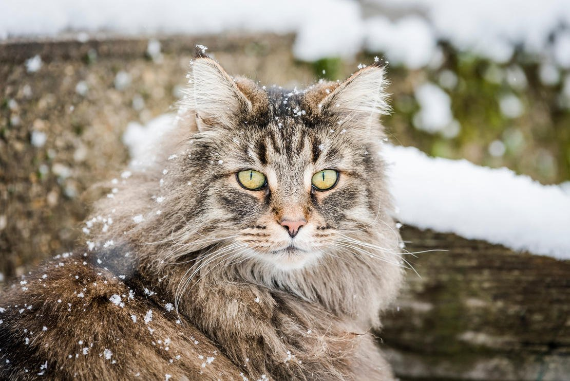 So You Re Thinking About Getting A Norwegian Forest Cat My Pet And I
