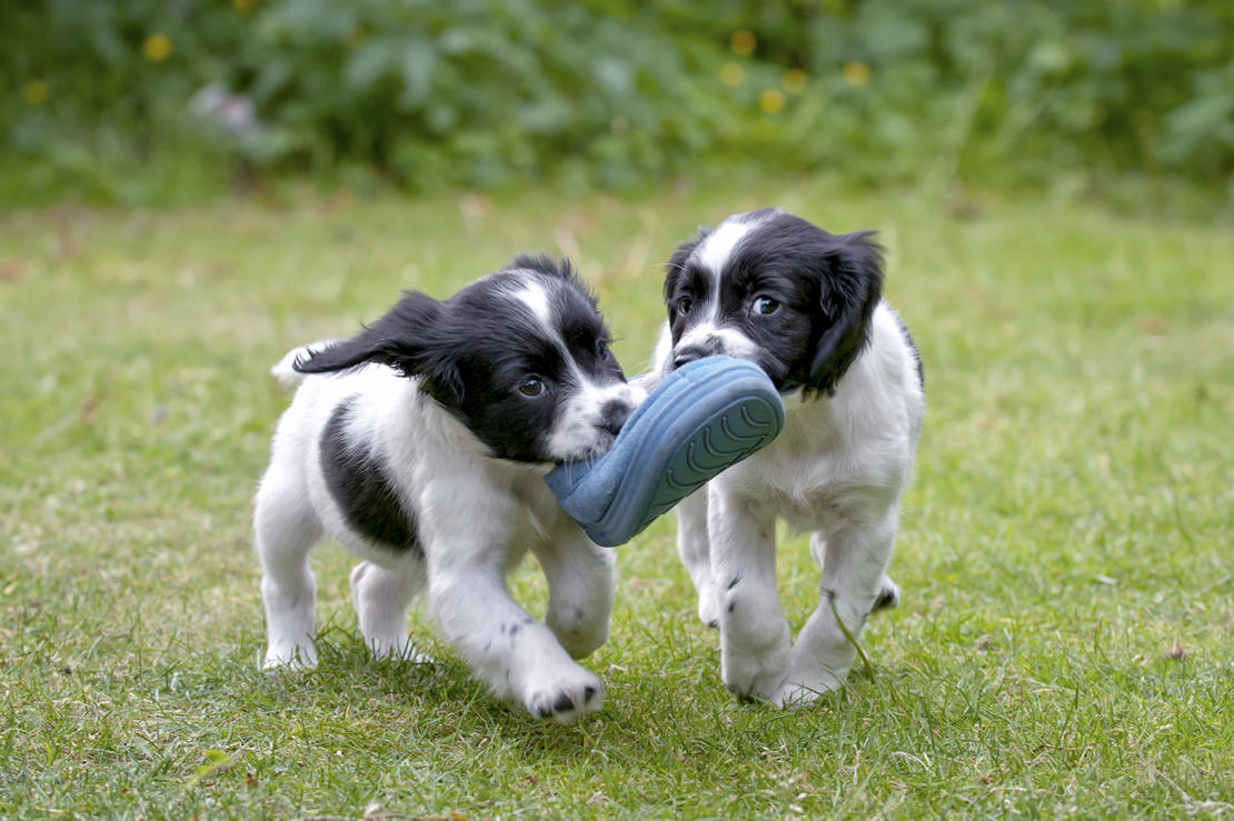 The Essential Guide To Buying A Puppy My Pet And I