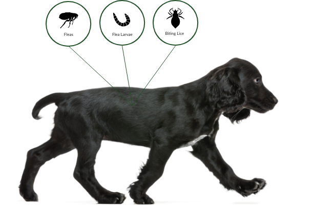 Advantage spot-on flea treatment prevents and treats fleas and treats biting lice in dogs