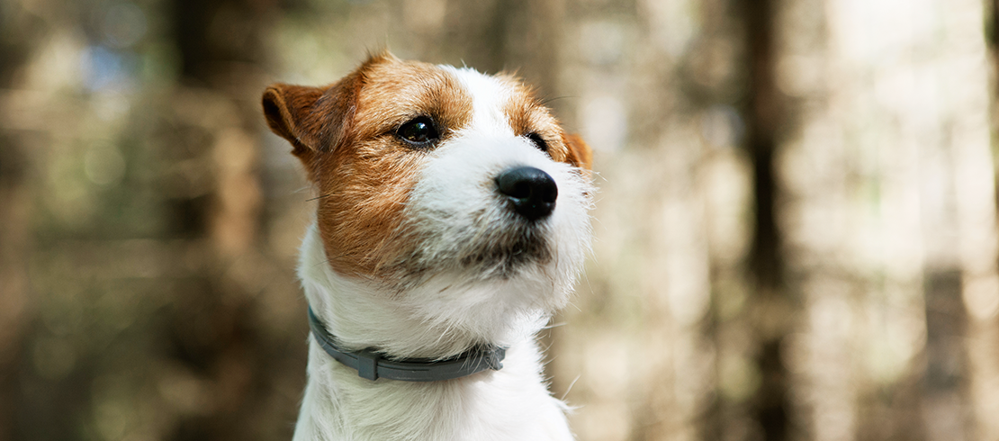Brown and white dog in a woodland wearing a Seresto collar for protection from ticks