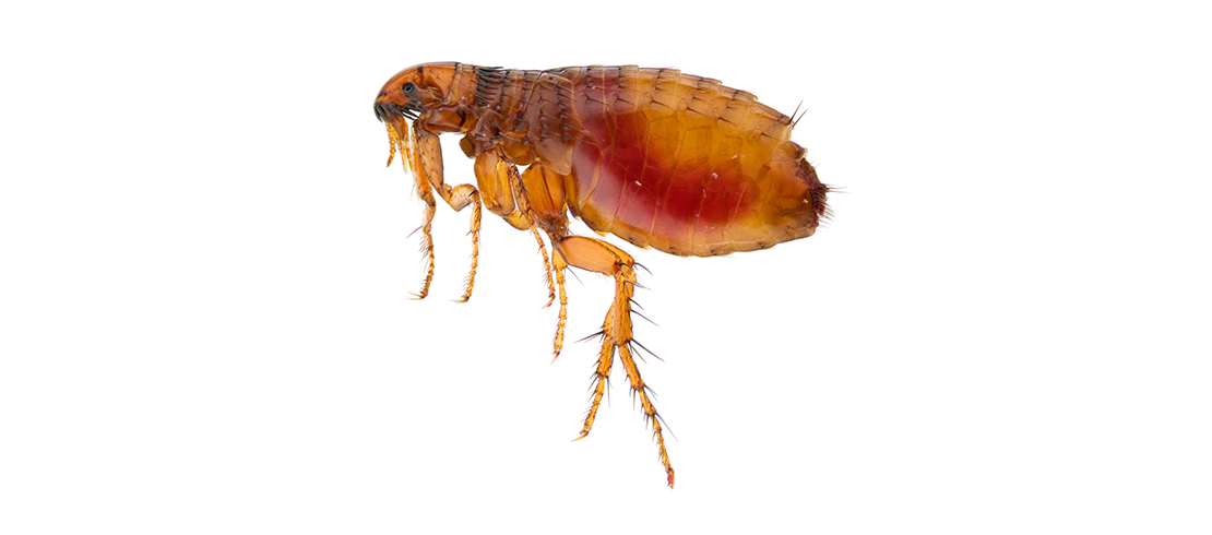 Cat and dog fleas are small brown or black insects