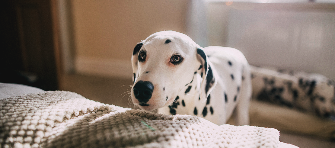 Dalmatian puppy in the home
