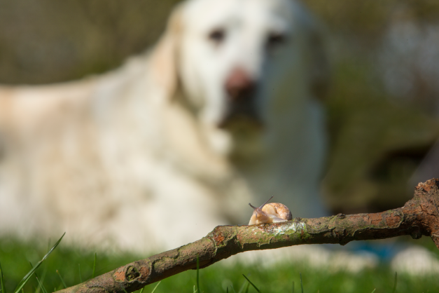 Dogs can accidentally eat slugs or snails when playing outdoors