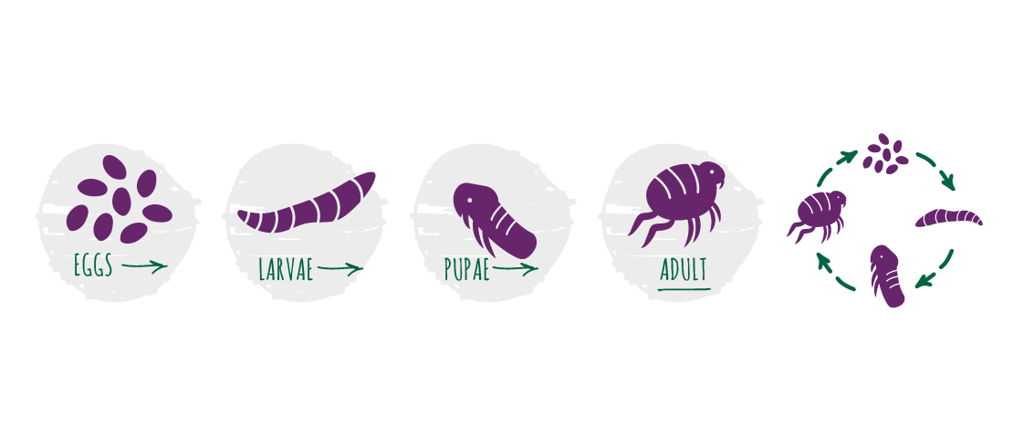 The flea has four life stages: egg, larva, pupa and, finally, adult.