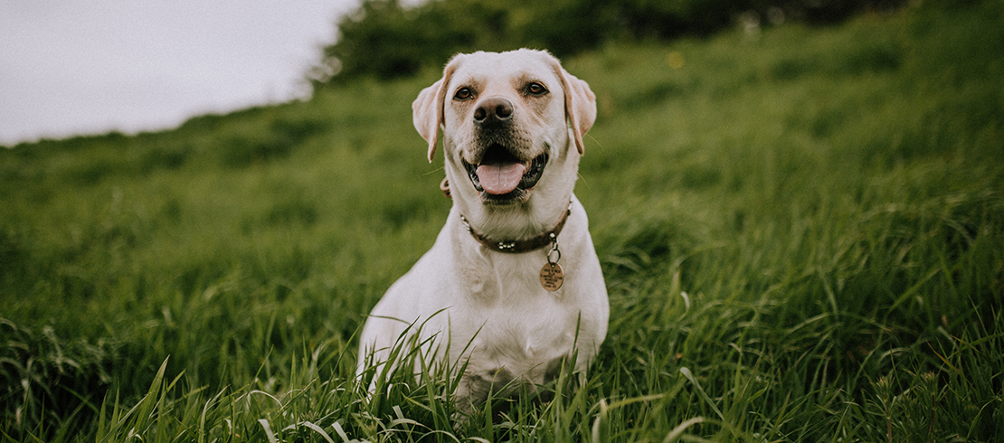 Happy and healthy dog protected from lungworm sitting in grass