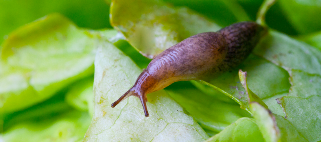 slugs and snails can carry lungworm