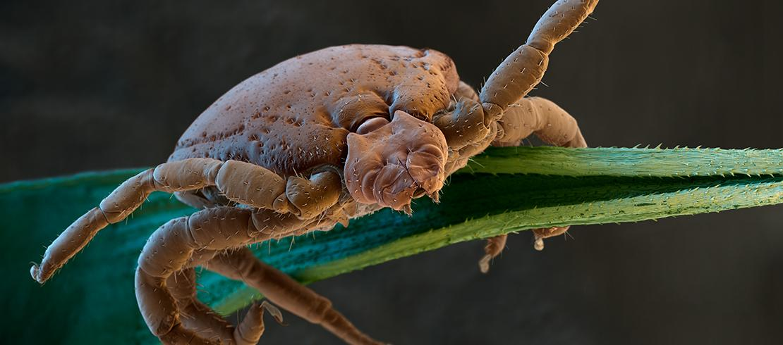 Magnified Brown Dog tick on grass