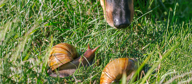 Snails with lungworm in grass