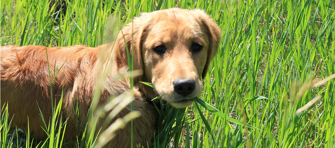 Dog standing in tall grass, at risk of catching a tick-borne disease