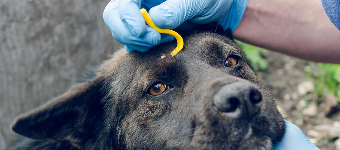 Vet removing tick from dog's head with tick-removal tool