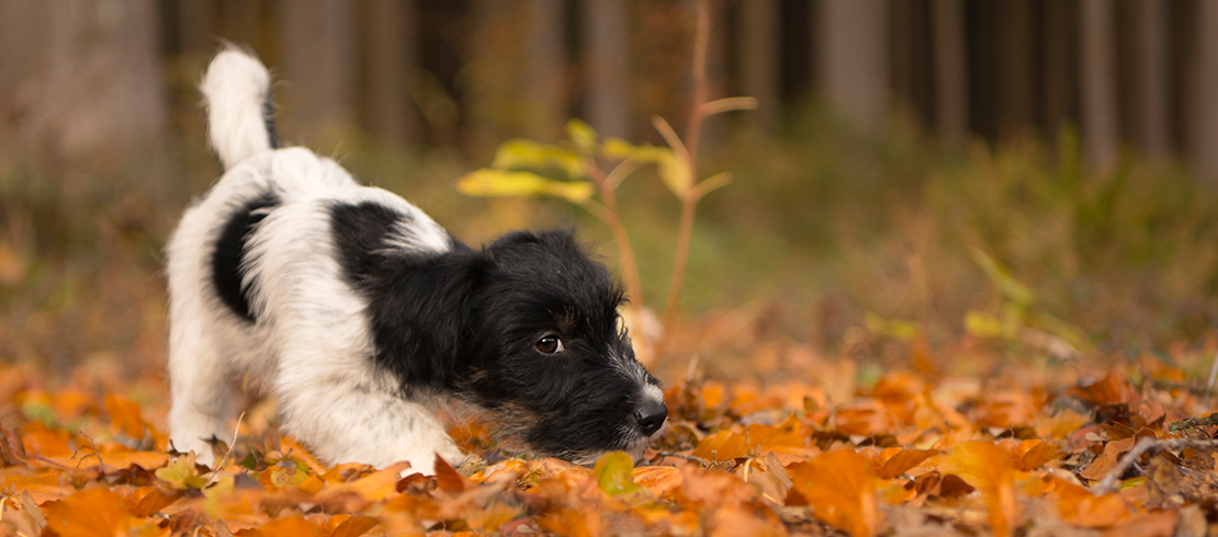Younger dog being playful outdoors in the autumn leaves