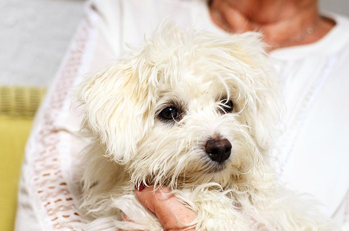 Malteste dogs are an ideal breed for seniors