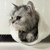 Damp kitten following bath with cat flea