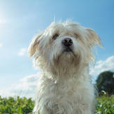 Cute white dog in sunny field