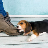 Training_Cute puppy bites shoe