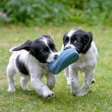 New Owner_Two cute puppies play with shoe in garden