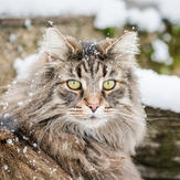 Cute Norwegian Forest Cat in snowy forest
