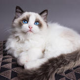 Cute Ragdoll cat on cushion