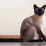 Beautiful Siamese cat sits on floor