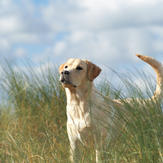 Dog stands in long grass, where ticks can lie in