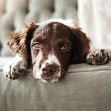Dog on sofa in the home