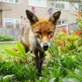 A recent study shows lungworm infection in foxes was very high in Greater London