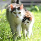 Adult cat and kitten walking in the garden, a place where parasites such as roundworm and tapeworm are commonly found