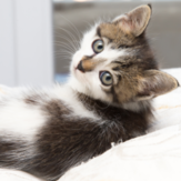 : Kitten on soft furnishings with fur can easily harbour fleas and flea infestation