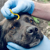 Owner wearing blue gloves removes tick from their dog's head using a tick hook