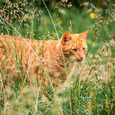 Cat exploring the outdoors in tall grass where ticks could be waiting to bite